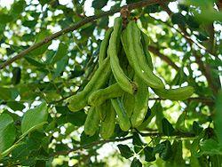 Ceratonia siliqua green pods