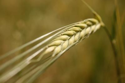 wheat dextrin